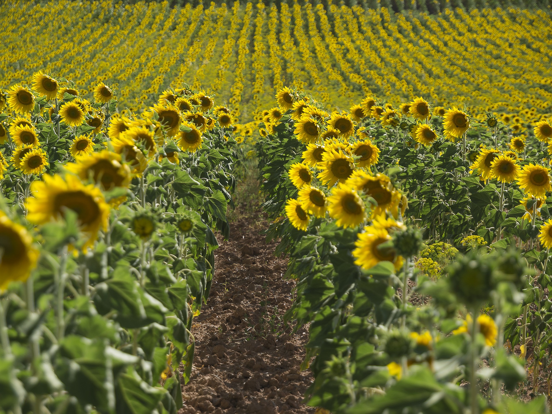sunflowers-1460824_1920